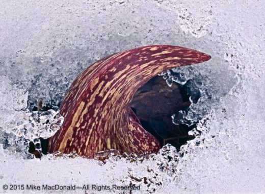 """Thermogenesis is a rare property that is shared by only a few of Earth's plants, one of which is skunk cabbage. Concealed deep inside this burgundy hood is a tiny, """"green"""" furnace, generating heat that can rise as much as 63°F above the ambient air temperature. This easily allows the curling spathe to melt the surrounding snow and break through the surface."""