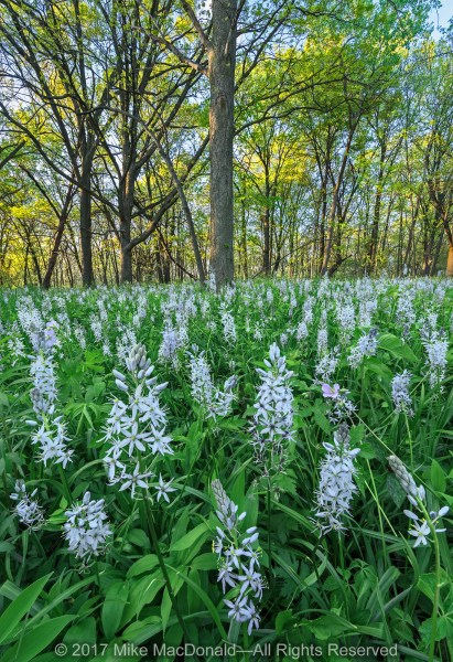 Wild hyacinths bloom in abundance at Oldfield Oaks in Darien.*