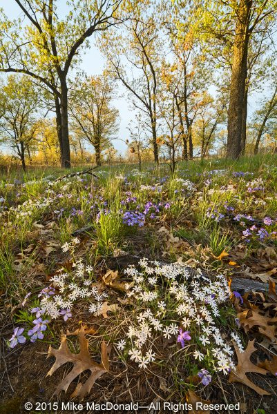 """In May, Pembroke Savanna is home to blooms of white sand phlox and rare bird-foot violet."""""""