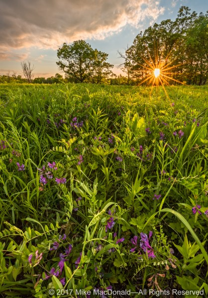 The purple flowers of American vetch dot the savanna at Somme Prairie Grove in Northbrook.