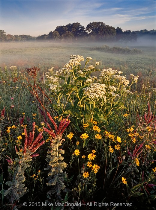 At Bluff Spring Fen, in the golden light of morning, wild quinine, stiff coreopsis, and leadplant overlook the foggy fen from atop the reconstructed kame and the remnants of Healy Road Prairie, which was miraculously transplanted here from six miles down the road.*