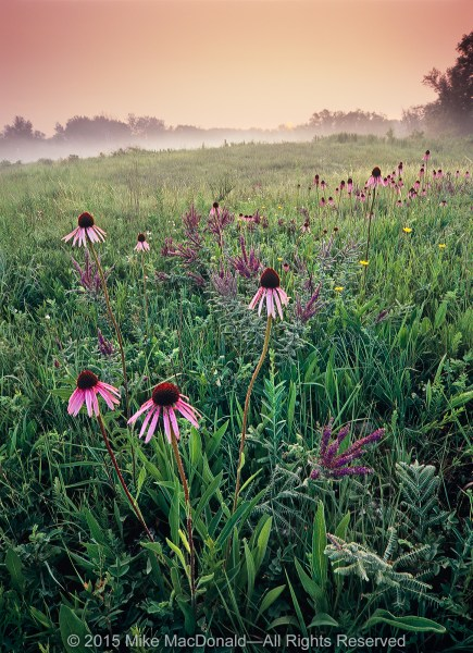 Behold! Morning in a Chicagoland prairie. This fine June day awakens to a magnificent panorama of pale purple coneflower, leadplant, and stiff coreopsis.*