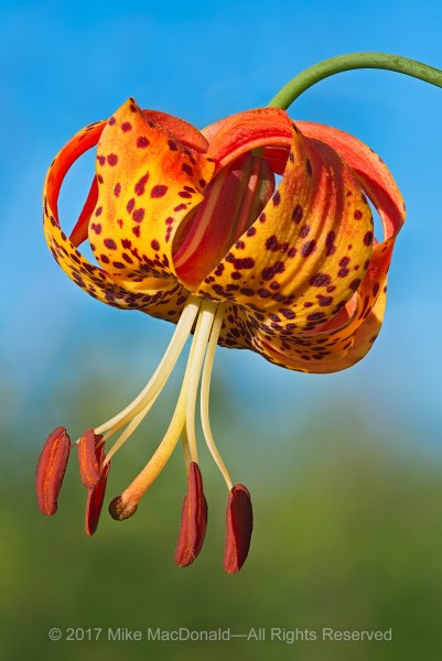 Michigan lily can be found at a handful of our showcase preserves.*