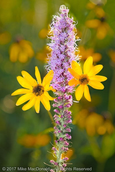 Prairie blazing star and rosinweed in July at Belmont Prairie in Downers Grove, Illinois.*