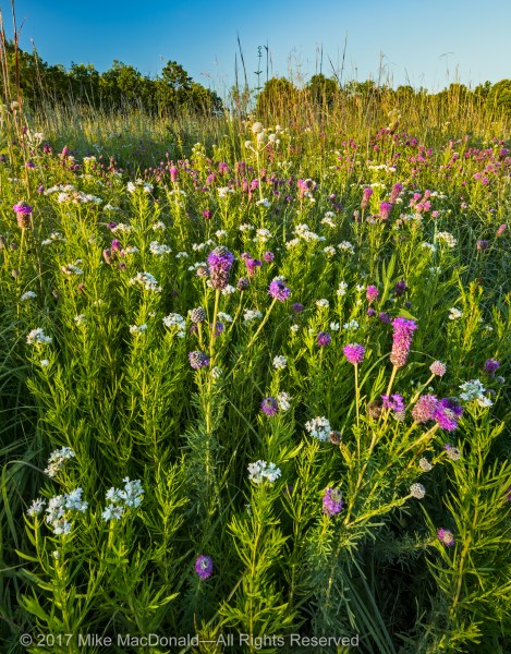Purple prairie clover and mountain mint steal the show in this area of Somme Prairie Grove in Northbrook, Illinois.*