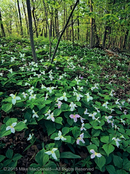 Large-flowered trillium bloom in profusion at Harms Woods in Cook County, Illinois. The flowers turn pink as they fade.*