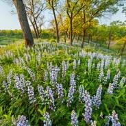 Chicago Spring Wildflower Report & Info – 05/31/2019
