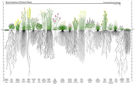 The root system of some common prairie plants.