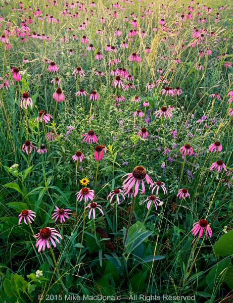 Purple pale coneflowers, scurfy pea, and porcupine grass at Belmont Prairie in Downers Grove, Illinois.*