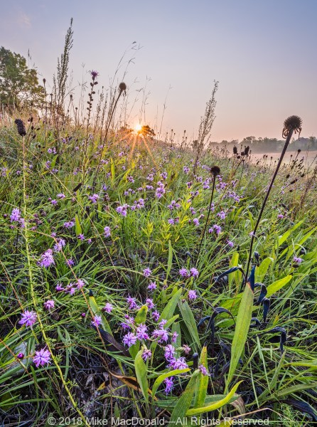 In August, cylindircal blazingstar covers the northeast kame at Bluff Spring Fen in Elgin, Illinois.*