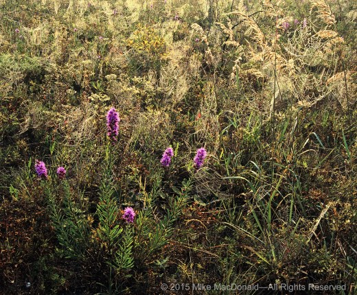 Spider webs and rough blazing star in the sand prairie at Illinois Beach Nature Preserve in Zion, Illinois.*