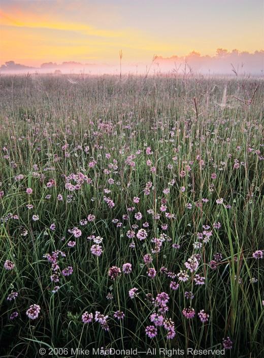 Nodding wild onion blooms across the vast prairie at Lockport Prairie in Lockport.*
