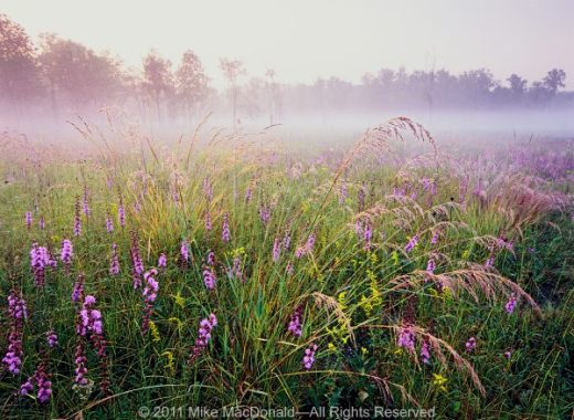 In the dolomite prairie at Theodore Stone Preserve in Hodgkins, Illinois, feathery plumes of dew-drenched Indian grass steal the show from rough blazing star and goldenrod.*