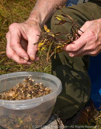 Dedicated volunteer and restoration leader, Bob Kelliher, separates seeds of ironweed at Kickapoo Prairie in Riverdale, Illinois.