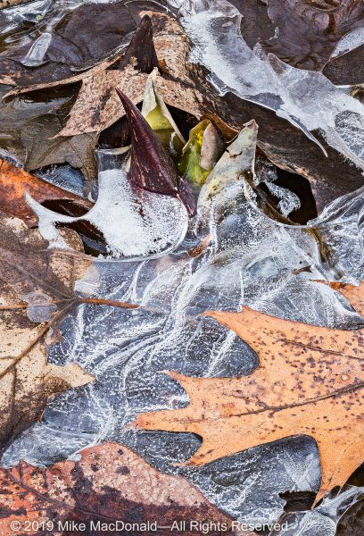 Thermogenetic skunk cabbage sprouts depite the ice and cold.