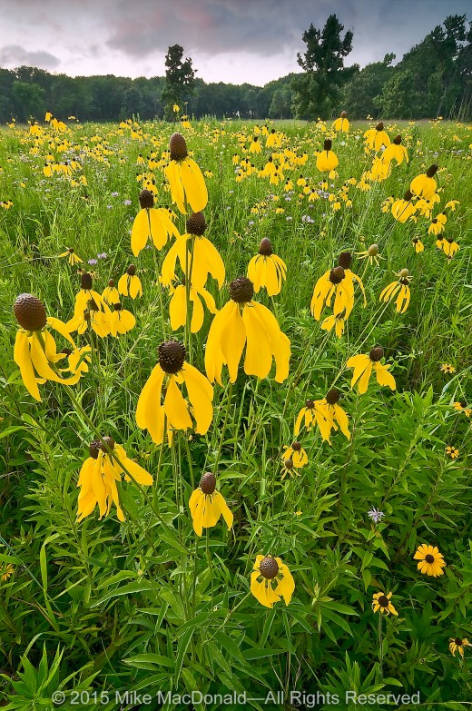 Yellow coneflowers bloom in the mesic prairie in the western half of Theodore Stone Preserve in Hodgkins.*