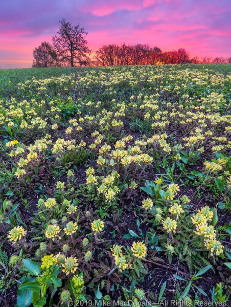On this May morning at Shoe Factory Road Prairie, wood betony blooms under a red sunrise.*