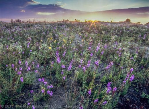 As the sun rises over the dune, rough blazing star, flowering spurge, and western sunflower grow densely in the protection of a swale at Illinois Beach Nature Preserve in Zion, Illinois.*