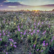 Chicago Wildflower Report & COVID-19 Nature Outings – 08/27/2020