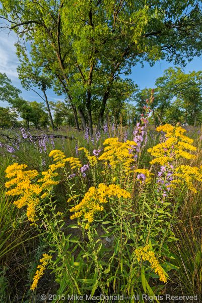 Field goldenrod and rough blazing star bring an air of autumn to the sand savanna at Pembroke Savanna in Hopkins Park, Illinois.*