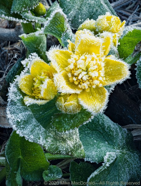 At Bluff Spring Fen, Yellow flowers of marsh marigold were covered in a magical patina of morning frost.