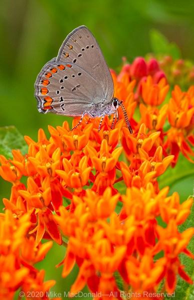 Coral hairstreak butterfly on butterfly milkweed at Gensburg-Markham Prairie in Markham, Illinois.
