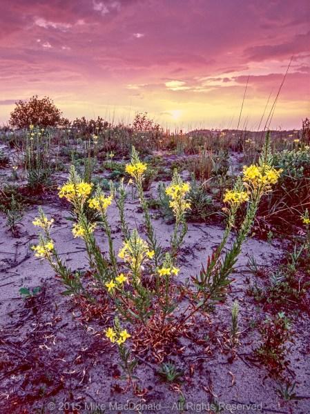 Evening primrose blooms in the purple morning light along the sandy Lake Michigan shore at Illinois Beach Nature Preserve in Zion, Illinois.*