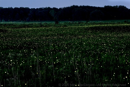 fireflies lit up the nighttime prairie at Wolf Road Prairie in Westchester. This image was recorded over an 87-second period from the deck of the Franzosenbusch prairie house. Fireflies flash their bulbs as they look for mates. Males fly around, while females perch on plants.*