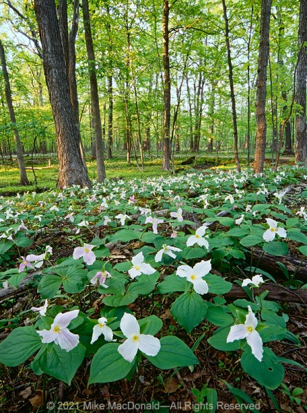 Large-flowered trillium carpet the floor of Captain Daniel Wright Woods in Mettawa, Illinois.