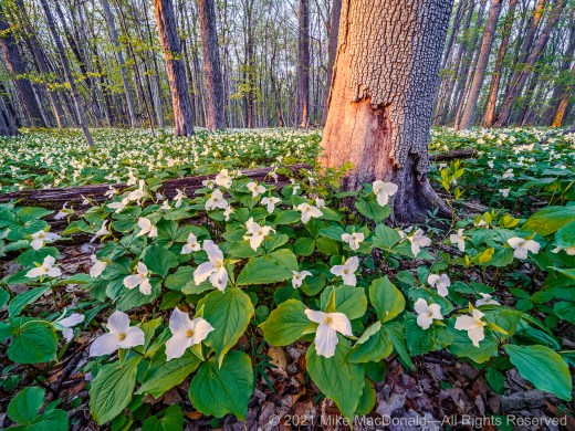 Large-flowered trillium of species Trillium grandiflorum covers the woodland floor in a spectacular annual display at J. Timothy Ritchie Nature Preserve in Chesterton, Indiana.*