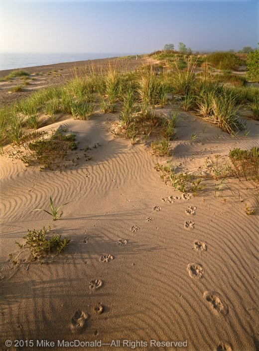 Near the Lake Michigan shore at Illinois Beach Nature Preserve, amidst marram grass and bearberry, the low light of morning revealed shapes in the sand that chronicled the secrets of time and affirmed the existence of wondrous creatures and invisible forces.*
