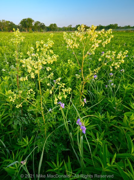 In June, purple meadow rue towers above the blue morning blooms of Ohio spiderwort at Wolf Road Prairie in Westchester, Illinois.