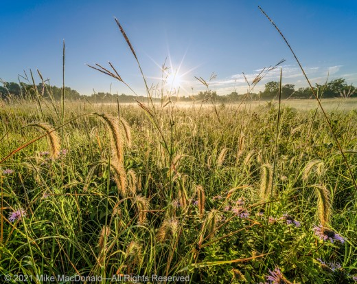 Grasses sparkle with dew in the morning prairie Bluff Spring Fen in Elgin, Illinois.*