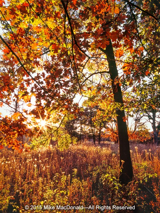 Compared to the golden maples of autumn, oaks can be a bit understated. Here, at Bluff Spring Fen, this bur oak, when placed in the spotlight, certainly puts on a show.
