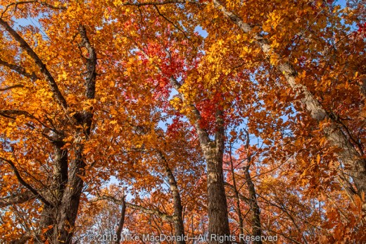 At Spears Woods in Willow Springs, Illinois, the glorious autumn canopy of white oak bring dramatic color to the open woodland.