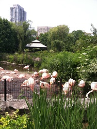 Lincoln Park Zoo Flamingos