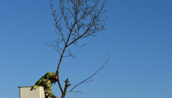 City workers remove what was left of one of the tornado-damaged trees.