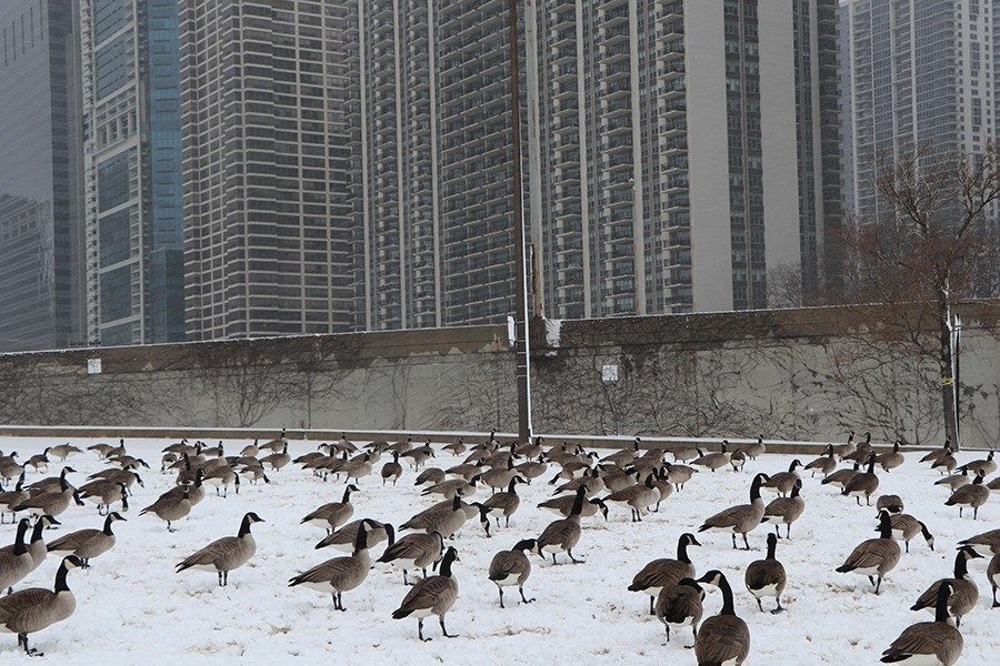 Canada Geese eat grass in a field near Lake Shore Drive on January 26. The Indiana Department of Natural Resources notes that geese choose to eat in open areas so they can watch for predators, though this is yet another adaptation that is unnecessary in the city.