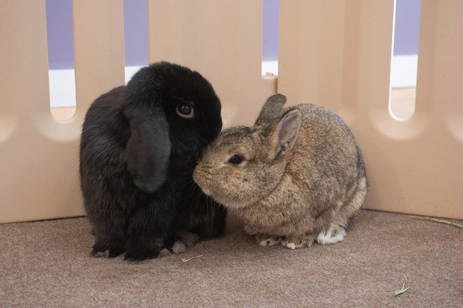 Lil Bear, a mellow mini lop, with Fiona, a tiny speed demon.