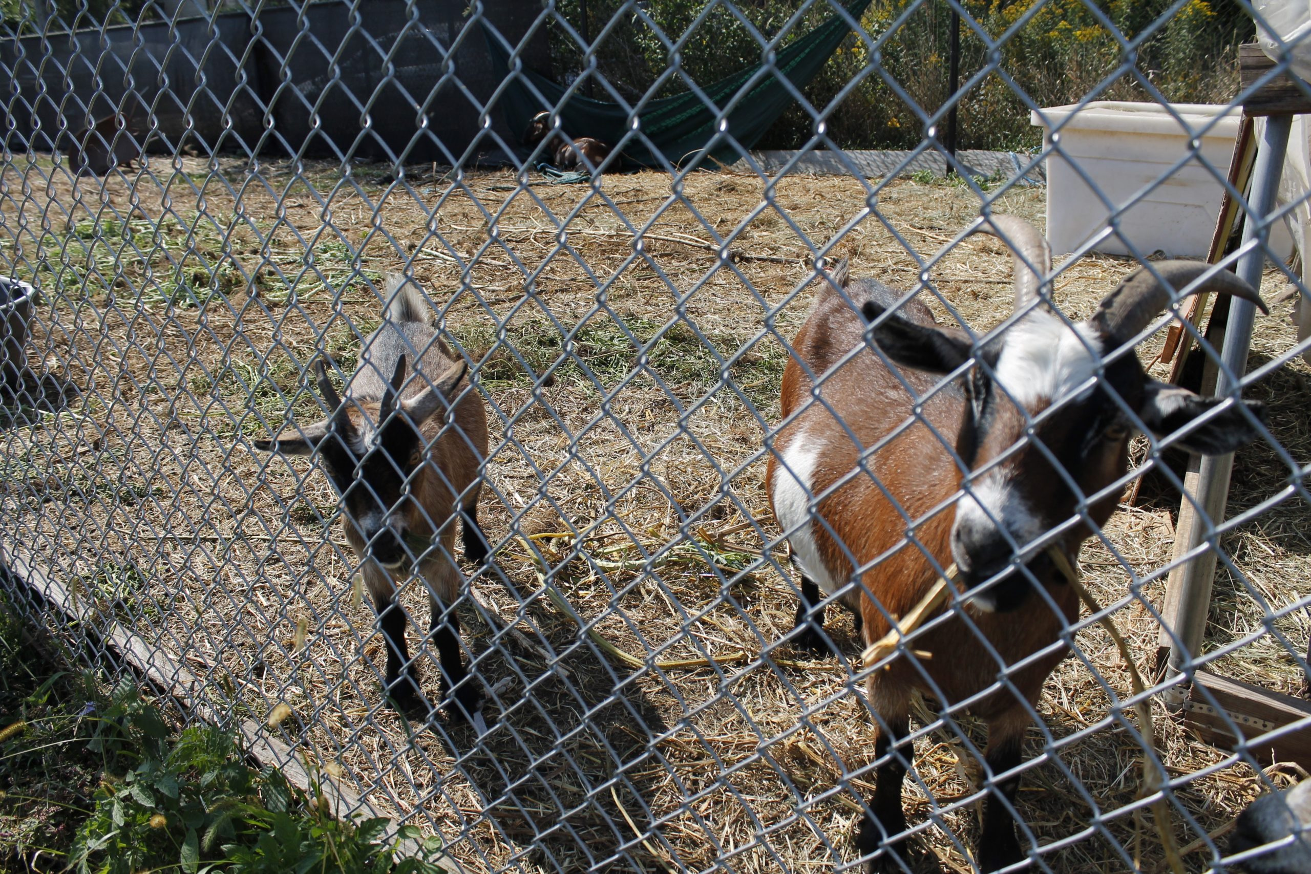 Alongside fruits, vegetables, and herbs, several goats also call the South Chicago UGC farm home. Feeding them is as simple as plucking nearby grass and sticking it through the fence.
