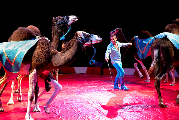 Ian Gardner Jr. puts the camels through their paces under the big top at Circus World.