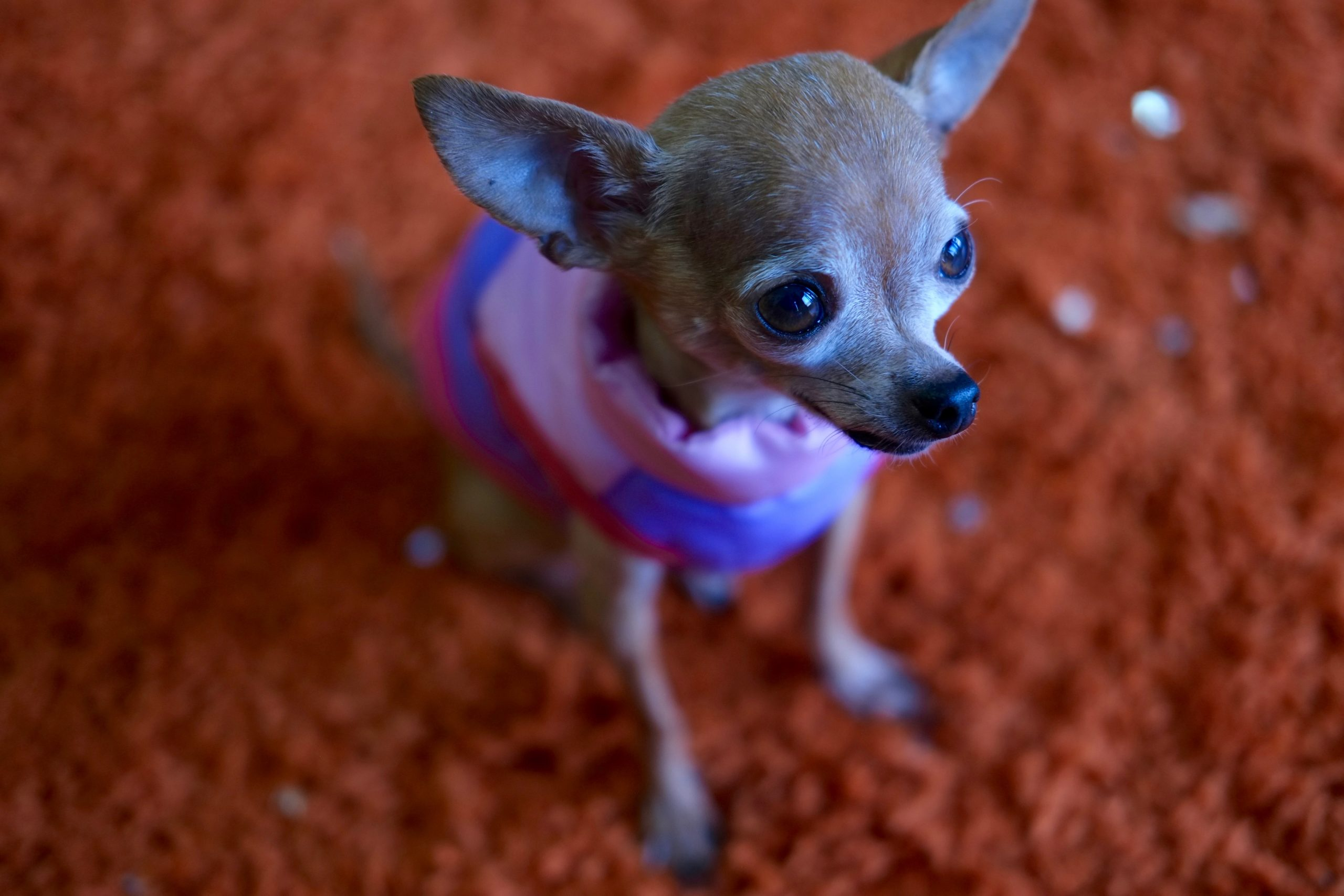 """Strummer, a two-pound chihuahua owner Melissa Elliott rescued from the streets, now greets the customers with """"tiny barks,"""" she says."""