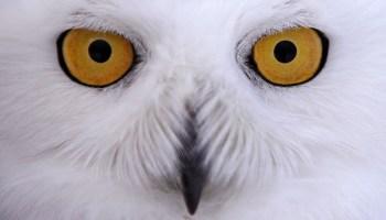 A snowy owl (photo added 2018)
