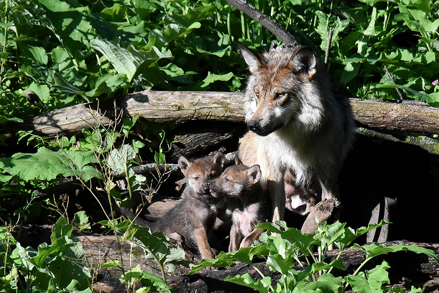A Mexican gray wolf and her two puppies at Brookfield Zoo