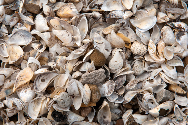 Zebra mussels along the beach in Whiting