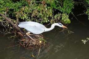 Heron hunting the canal
