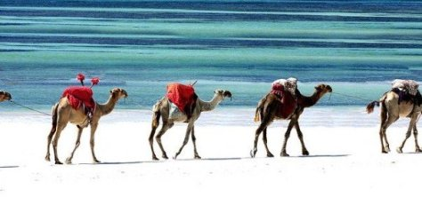 Camels in Mombasa