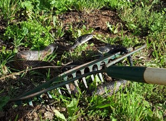 Chicken Snake that killed a chick