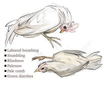 Sketch of Chickens with Marek's Disease Courtesy of Hannah Smith