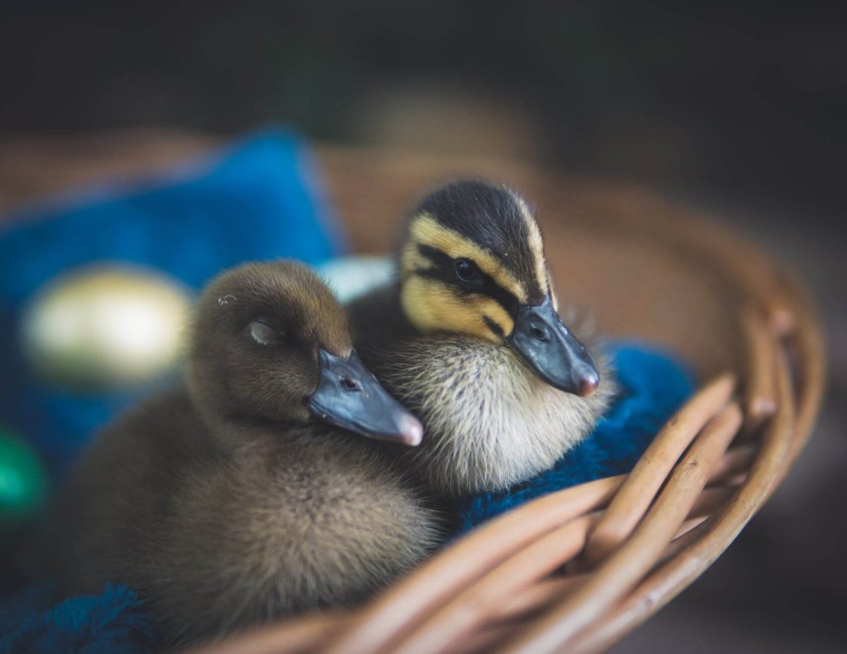 close up photography of ducks